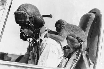 Talisman Squadron Royal Air Force UK in Libya, monkey named Bass, plays a fighter pilot «Tomahawk» in the Western Desert.jpg