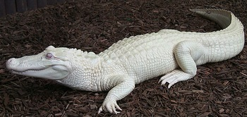 white Alligator.jpg